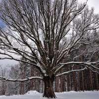 Le gros chêne de Salm en hiver