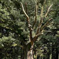 Le gros chêne de Salm. Crédit photo : Office de tourisme de la vallée de la Bruche / Stéphane Spach