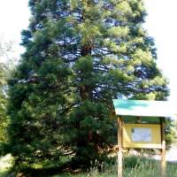 Séquoia. Lutzelhouse